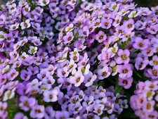 Alyssum - ROYAL CARPET  - Lobularia Maritima - 1400 seeds - flower