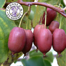 RARE Purple Actinidia purpurea, Chinese gooseberry - 10 seeds -  UK SELLER