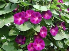 Morning Glory- Crimson Rambler- 100 Seeds-      50 % off sale
