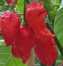 Naga Viper Chilli, One of the Hotest in the world - 10 Seeds