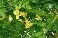 Siberian Pea Tree - Caragana Arborescens - 25 seeds - Ornamental Shrub - Berries