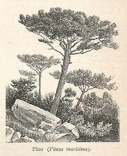 A7433 Pino (Pinus maritima) - Stampa Antica del 1929 - Xilografia