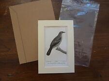 Gravure XIXè - BUFFON / PRETRE 1825 - oiseaux -  Moqueur -  passe-partout