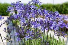 3 New Agapanthus Happy Blue ® violet-blue flowers excellent garden plant