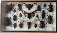 19 INSECT DISPLAY JEWEL STAG BEETLE CICADA TAXIDERMY INSECTS BIG BUG ENTOMOLOGY