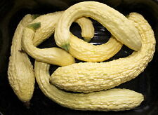 LEBBROSO GIALLO RARE HEIRLOOM SQUASH COURGETTE TOP FLAVOUR !!! 10 FRESH SEEDS