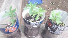 Goji Berry 20+ Fresh Cuttings TWO Varieties & Secret Propagation Guide