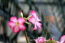 Adenium obesum @ Wüstenrose @ Desert Rose @ Traumhafte Blüte ! @ 5 Samen