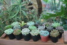 """10 Gorgeous Specialty Succulent Wedding Favors in their 2.5"""" plastic containers"""
