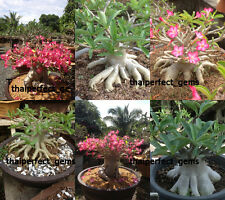 "WOW! ADENIUM ARABICUM DESERT ROSE ""MIXED 6 TYPES"" 120 SEEDS"