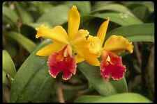 514000 Red And Yellow Cattleya Orchid A4 Photo Print
