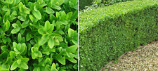 18 X BUXUS SEMPERVIRENS BOX TOPIARY HEDGING SHRUB GARDEN CONTAINER PLANT