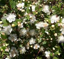 Myrtus communis - 20 graines-common myrtle
