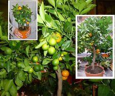 Orangenbaum essbar mediterrane Pflanze groß Zimmerpalme für das Büro Büropflanze