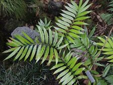 Zamia prasina SEED Cycad Rare in cultivation Hard to find seed Fresh lot of 25