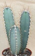 CEREUS VALIDUS, grafting stock grafted cacti night flower cactus seed 20 SEEDS