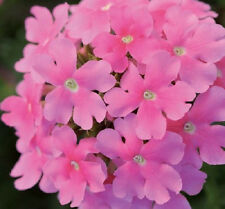 50 Verbena Seeds Quartz Pink Flower Seeds