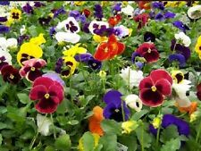 Pansy Viola Swiss Giants Mixed Colors 50 Fresh Seeds Gorgeous! Free Ship!