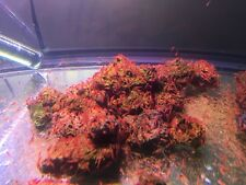 100 Opae Ula Red Hawaii Shrimps +10 bonus -Strong Healthy/ Educational Ecosystem