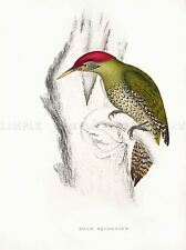 PAINTING BIRDS HIMALAYAS GOULD SCALY BELLIED WOODPECKER 18X24' ART PRINT LAH576A