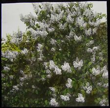 Glass Magic Lantern Slide WHITE LILAC DATED 1925 PHOTO NATURE STUDY FLOWERS