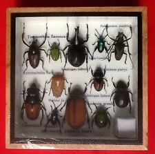 REAL EXOTIC HUGH 12 INSECT DISPLAY TAXIDERMY ENTOMOLOGY CICADA BEETLE INSECTS