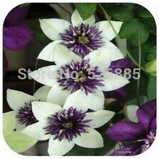 200 clematis seeds, potted seed, clematis flower seed Garden plants