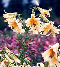 1 Lilium oriental trumpet Lily bulb ' Quintessence'  Rare!