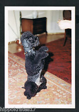 FOTO vintage PHOTO, schöner Hund Pudel dog pretty poodle beau caniche chien /56b