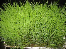 1+ lb PREMIUM OAT SEED GRASS CAT CHICKEN FEED OAT GRASS FODDER FREE SHIPPING