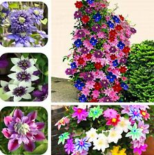 300 Bonsai Clematis Bulbs Wire Lotus Plant Seeds Multicolor Clematis Seeds