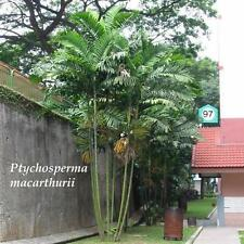 (50 SEEDS) ~MacARTHUR~ Palm Tree 50+ LIVE SEEDS Rare Papua New Guinea Plant