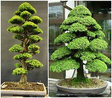 10 semi di Cryptomeria Japonica,cedro giapponese, semi bonsai