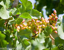 Live PISTA FRUIT (Pistachio) Plant - 1 FEET HEIGHT- 1 Healthy plant In 1 Pot