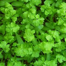 GOURMET CRESS - BUBBLES - 1000 Seeds [Chef's Special ~ Tasteful Presentation!]
