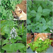 Catnip 250 Fresh Seeds Catmint Cat Mint Nepeta Cataria Perennial From Thailand.
