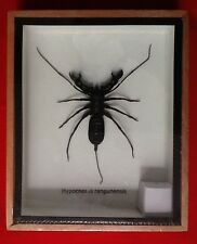 REAL BLACK WATER SCORPION INSECT TAXIDERMY HYPOCNOTUS RANGUNENSIS NEPIDAE