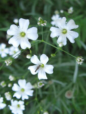 White BABY'S BREATH COVENANT GARDEN Gypsophila Seeds (20 Seeds) F-159