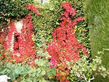 Boston Ivy Vine Virginia creeper Seeds (Green then Red) - Pack of 5 seeds