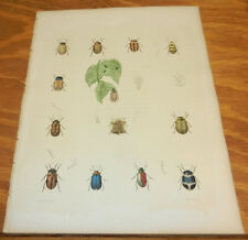 1854 Antique COLOR Insect Print/GOLDENBUG, MELODIUS BEETLE