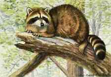 A4 Photo Fuertes Louis Agassiz 1920 Racoon Print Poster