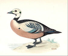 STELLER'S EIDER DUCK bird - original vintage 1890's painted woodblock print