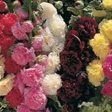 35+ Alcea Double Hollyhock Mix Flower Seeds / Perennial