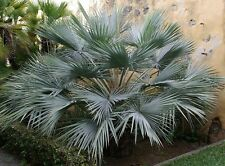 10 Seeds - Brahea armata - Blue Hesper Palm / Mexican Blue Palm