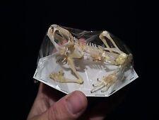 Taxidermie cabinet de curiosité squelette de crapaud / Toad skeleton!!