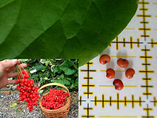 """10 SEEDS SELF-FERTILE Chinese Magnolia Schisandra chinensis / """"Eastern Prince"""""""