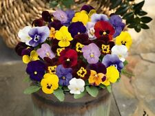 Flower seed - HORNED PANSY - LARGE FLOWER MIX - Viola cornuta