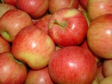 Apple Seeds ★ ROYAL GALA ★ Popular Variety ★Easy to Grow Your Own Tree★ 10 Seeds