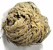 Rose of Jericho flower Resurrection flower wiccan pagan witch herb magick