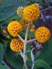 12 graines de BUDDLEIA GLOBULEUX (Buddleja Globosa)H230 ORANGE BALL TREE SEEDS